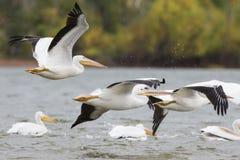 Witte Pelikanen tijdens de vlucht Stock Afbeelding
