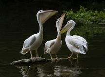 Witte Pelikanen, vogels op het donkere water, aardhabitat, het wildscène Stock Fotografie