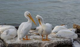 Witte pelikanenoverwintering over in Galveston-Haven stock fotografie