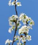 Witte perenbloesem stock foto's