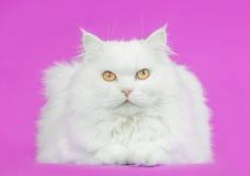 Witte Perzisch Royalty-vrije Stock Afbeeldingen