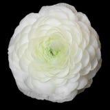 Witte Perzische boterbloemenbloem (Ranunculus) Royalty-vrije Stock Fotografie