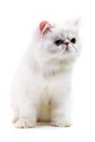 Witte Perzische kat Stock Afbeelding