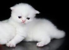 Witte Perzische kat Royalty-vrije Stock Foto's