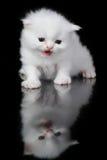 Witte Perzische kat Stock Fotografie