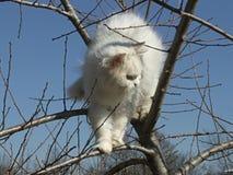 Witte Perzische kat in Boom Stock Foto's