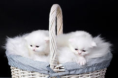 Witte Perzische katjes Royalty-vrije Stock Foto