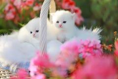 Witte Perzische katjes Stock Afbeelding