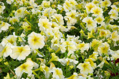 Witte petunia stock fotografie