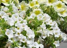Witte petunia Royalty-vrije Stock Fotografie