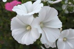 Witte petunia Stock Afbeelding