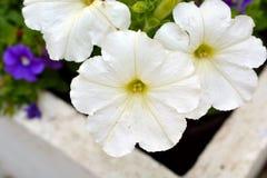 Witte Petuniabloemen in Bloei Royalty-vrije Stock Afbeelding