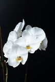 Witte Phalaenopsis-orchidee Royalty-vrije Stock Afbeelding