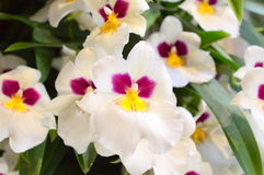 Witte phalaenopsis van de Orchideebloem Royalty-vrije Stock Foto's