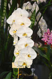 Witte phalaenopsisorchideeën Royalty-vrije Stock Foto's