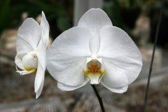Witte phalaenopsisorchidee stock foto