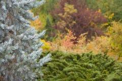 Witte pijnboom Stock Afbeelding