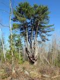 Witte pijnboom in Quebec Canada, Noord-Amerika stock foto