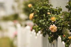 Witte piketomheining met rozen Royalty-vrije Stock Afbeeldingen