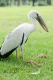 Witte pilican is een ziekte in het park Stock Afbeelding
