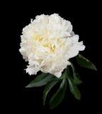 Witte pioen Royalty-vrije Stock Afbeeldingen