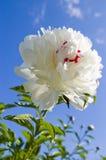 Witte pioen royalty-vrije stock foto