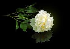 Witte pioen Royalty-vrije Stock Afbeelding
