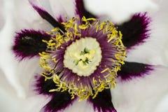 Witte pioenbloem Royalty-vrije Stock Afbeelding