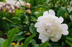 Witte pioenbloem Stock Afbeelding