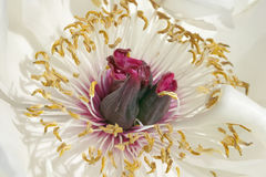 Witte pioenknop royalty-vrije stock fotografie