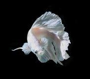 Witte Platt-Platina Siamese het Vechten Vissen Witte siamese fighti stock foto's