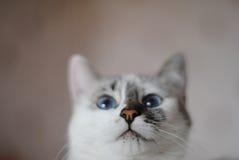 Witte pluizige blauw-eyed kat Dicht Portret Stock Afbeelding