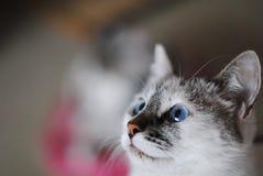 Witte pluizige blauw-eyed kat Dicht Portret Stock Fotografie