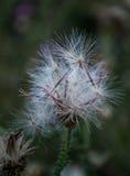 Witte pluizige bloem Royalty-vrije Stock Afbeeldingen
