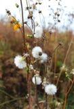 Witte pluizige bloem in pastelkleuren in de recente herfst stock foto