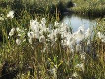 Witte pluizige bloemen Stock Afbeeldingen
