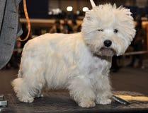 Witte pluizige hond Bichon Frise royalty-vrije stock afbeeldingen