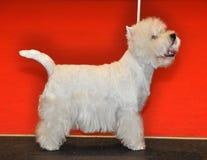 Witte pluizige hond Bichon Frise royalty-vrije stock foto's