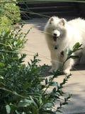 Witte pluizige hond stock foto