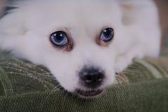 Witte pluizige hond die op de laag en zeer het omzichtige kijken aan de kant liggen stock foto's