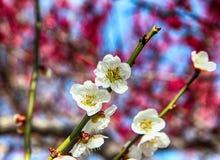 Witte Plum Blooming in het Dorp van Wondong Maehwa, Yangsan, Zuid-Korea, Azië stock foto's