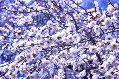 Witte Plum Blooming in het Dorp van Wondong Maehwa, Yangsan, Zuid-Korea, Azië royalty-vrije stock foto's