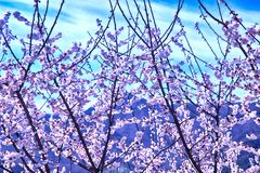 Witte Plum Blooming in het Dorp van Wondong Maehwa, Yangsan, Zuid-Korea, Azië stock foto