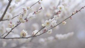 Witte Plum Flowers, in het Park van Showa Kinen, Tokyo, Japan stock videobeelden