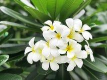 Witte plumeria stock foto's