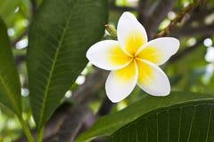 Witte Plumeria Royalty-vrije Stock Afbeelding