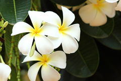 Witte Plumeria. stock foto's