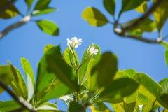 Witte plumeria Stock Fotografie