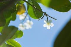 Witte plumeria Royalty-vrije Stock Fotografie