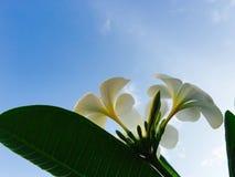 Witte plumeria Royalty-vrije Stock Foto's